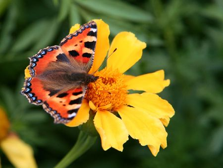 plexippus: Close-up of a orange butterfly.