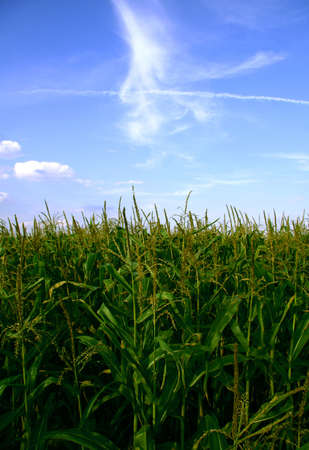 Field of green corn and blue sky with clouds. Stock Photo - 2441178