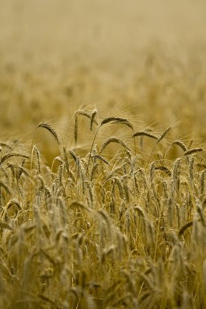 Golden wheat ready for harvest growing in a farm field under sky Stock Photo - 3583531