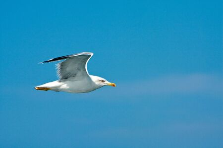 Seagull over blue sky Stock Photo - 6645185