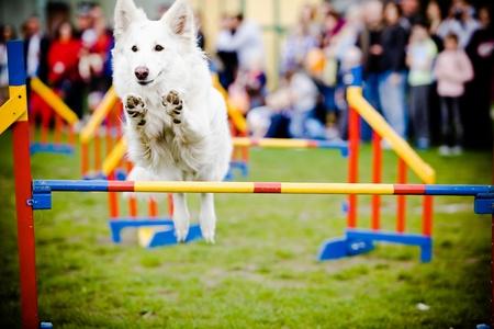 obstaculo: Perro saltando sobre obstáculos Foto de archivo