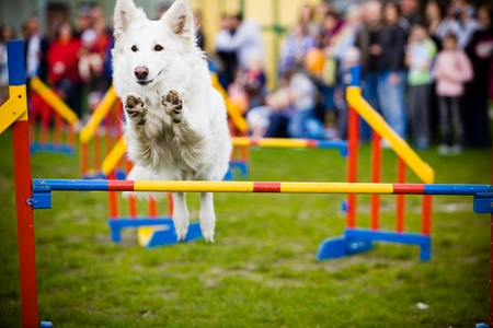 Dog Jumping Over Hurdle Stock Photo - 9945497