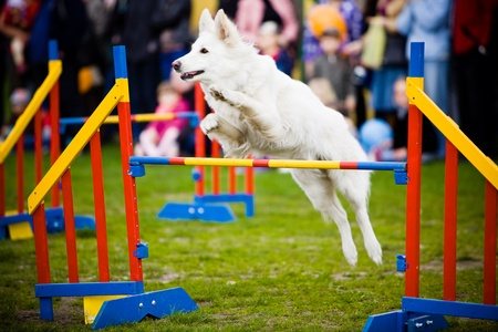 Agility: Dog Jumping Over Hurdle