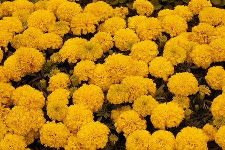 ringelblumen: gelbe Ringelblumen