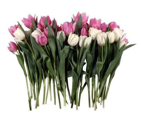 bouquet of white and red tulips isolated on a white background