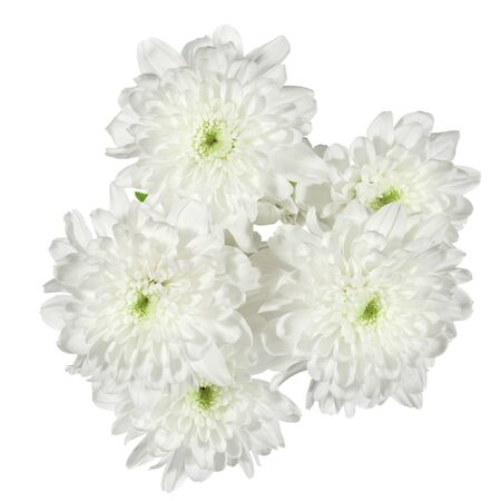 nuance: white chrysanthemums flower on a white background