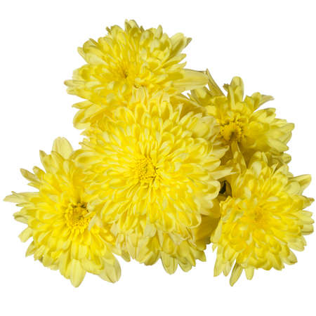 nuance: yellow chrysanthemums flower on a white background Stock Photo
