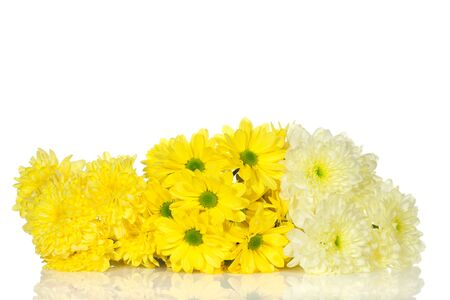nuance: yellow and white chrysanthemums flower on a white background