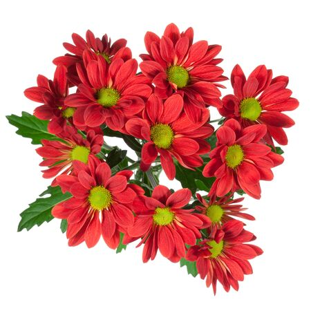nuance: red chrysanthemums flower on a white background
