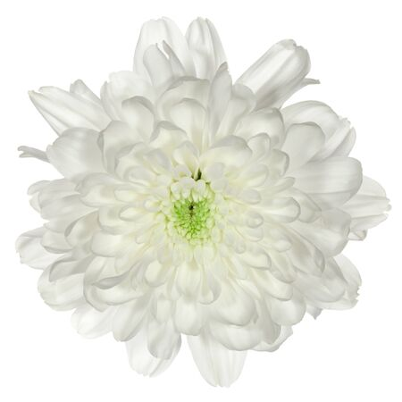 nuance: single white flower chrysanthemum closeup