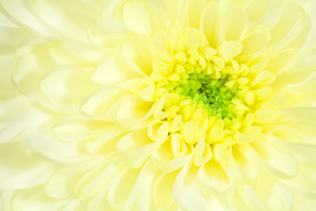 nuance: single flower yellow chrysanthemum closeup