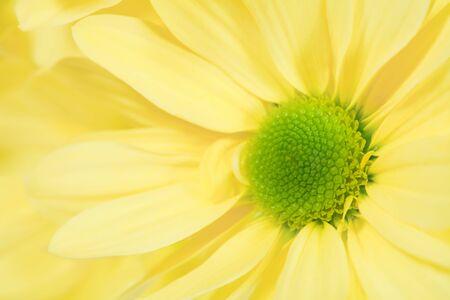single flower yellow chrysanthemum closeup