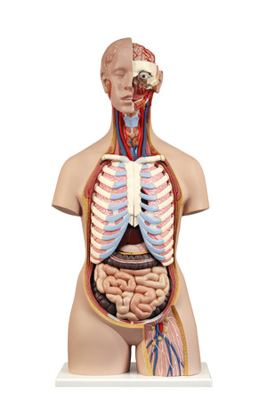 anatomical model: Anatomical model  unisex torso