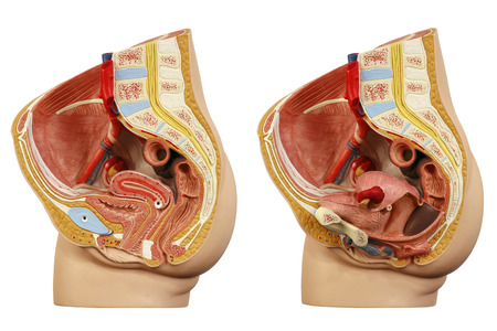 glands: Anatomical model female pelvis Stock Photo