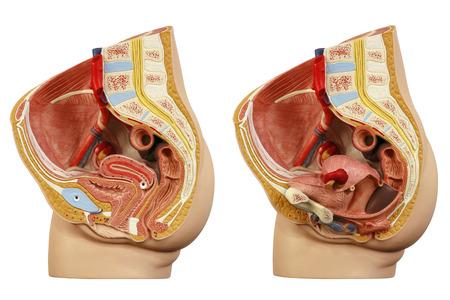 Anatomical model female pelvis Archivio Fotografico