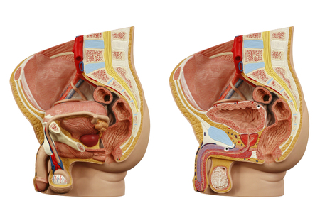 glans: Anatomical model male pelvis