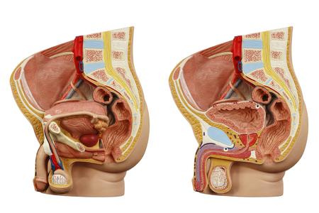 testiculos: pelvis modelo anatómico masculino