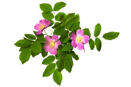 briar: A branch of wild rose with leaves and flowers isolated on white