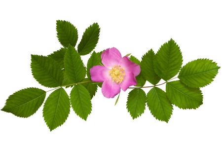 wild rose flower with leaves isolated on white