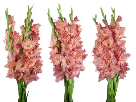 beautiful bouquet beige gladiolus flowers isolated on white background