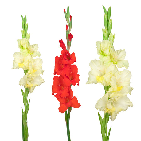 Yellow and red gladiolus isolated on white background