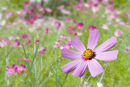 Pink kosmeya in the garden on a colorful floral background Stock Photo