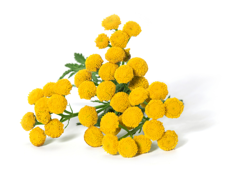 Medicinal plant tansy (Tanacetum vulgare) isolated on a white background