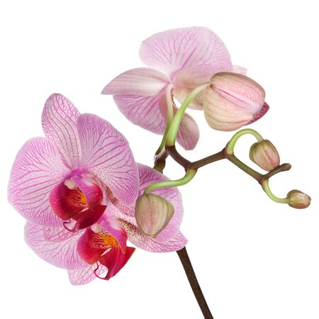 orchid house: Pink orchid isolated on white