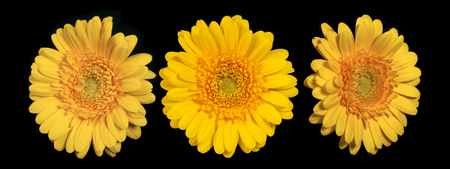 Yellow gerbera flower on a black background, front view and side view 版權商用圖片