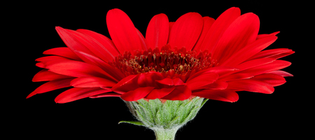 Red gerbera flower on black background. Side view Stock Photo