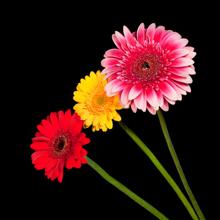 Three blossoms of colorful gerbera flowers in various colors isolated on black background