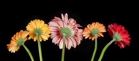 The reverse side of flowering gerberas of different colors