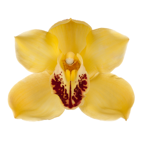 Yellow orchid on a white background, front view