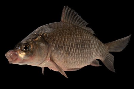 Live fish crucian on black background