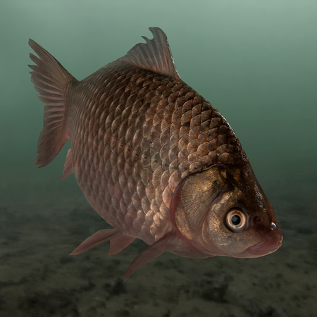 Crucian de poissons vivants sur l'étang