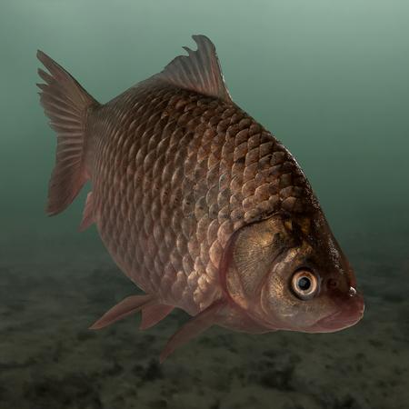 Live fish crucian on pond