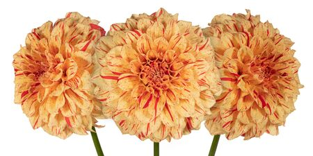 Three yellow with red dahlia flower on a white background