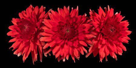 Three red dahlia flower on a black background