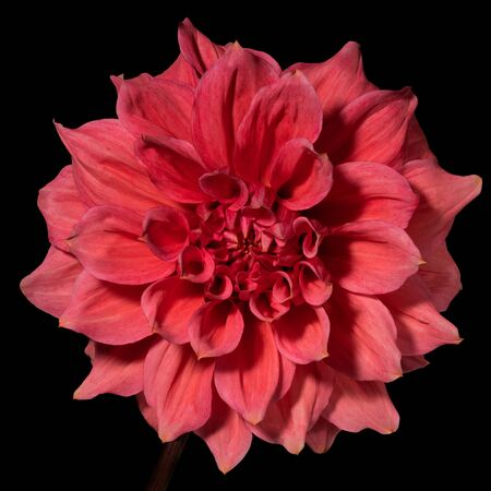 Red dahlia flower on a black background. Front view