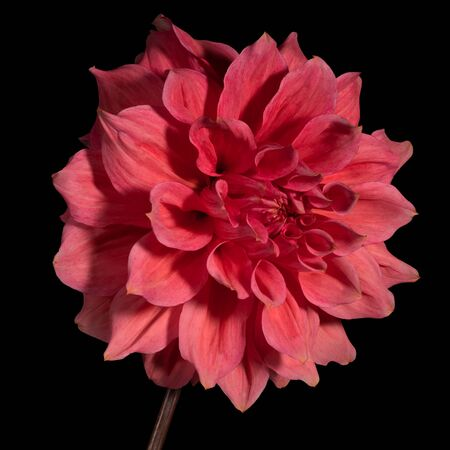 Red dahlia flower on a black background.. Side view