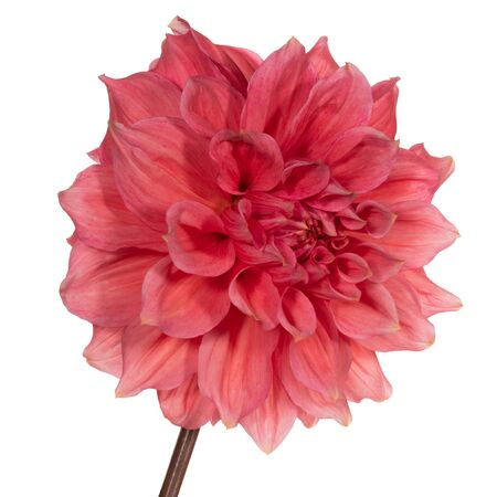Red dahlia flower on a white background. Side view Stock fotó