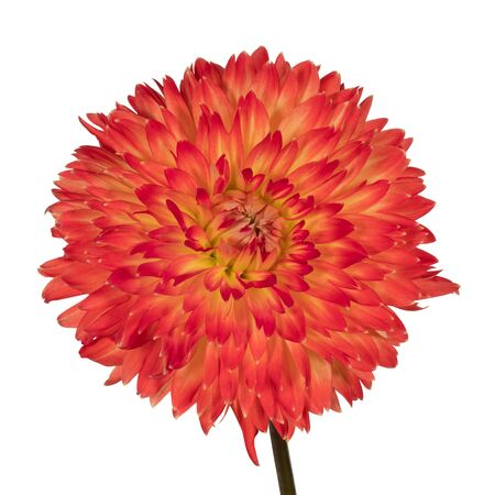 Red dahlia flower on a white background. Front view Stock fotó