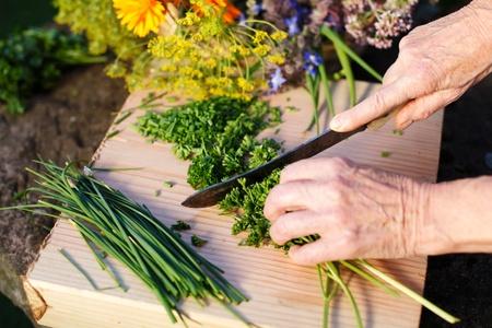 Senior hands cutting fresh organic herbs from the garden photo