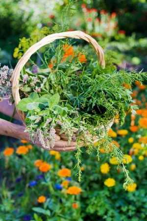 Senior holding a basket of fresh organic herbs in hands photo