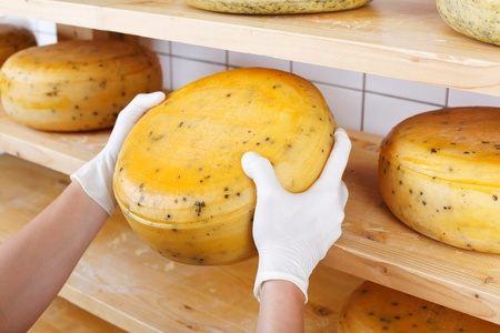 Close-up of a cheesemaker selecting mature cheeses from the shelves of the cheesemaking shop, wearing protective latex gloves