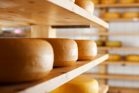 maturing: Many cheese-wheels maturing on different shelves at the cheesemaker cellar
