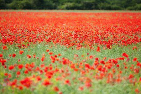 flowering field: Landscape image of fresh red flower field Stock Photo