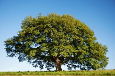 Big green oak tree in summer standing alone in a field against a blue sky