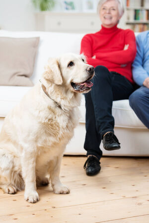 Loyal golden retriever dog sitting on the living room floor panting with its owners sitting on the sofa  photo