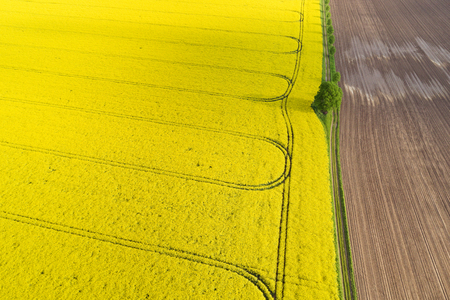 Spring crop of colorful yellow rape in a field with a pattern of tracks from farm vehicles separated from freshly ploughed brown earth by a thin line of greenery in an aerial view Stock Photo